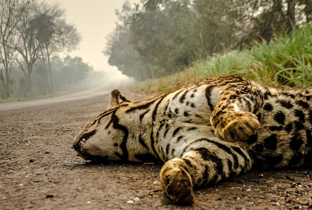 Jaguatirica morta pelos incêndios do Pantanal.