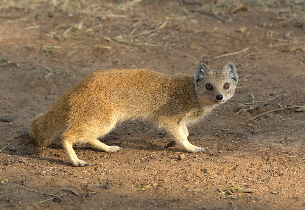 yellow mongoose (Copy).jpg