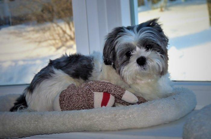 Senior Shih Tzu laying in window