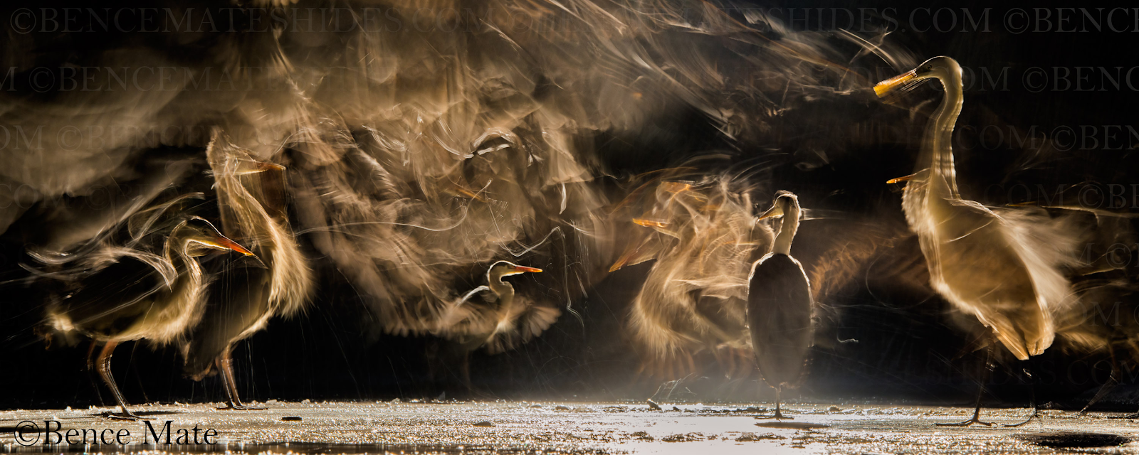 A photo of Great White Egret and Grey Heron by Bence Máté
