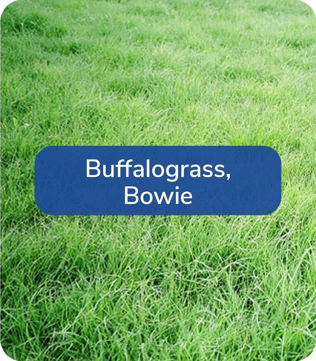 buffalograss bowie