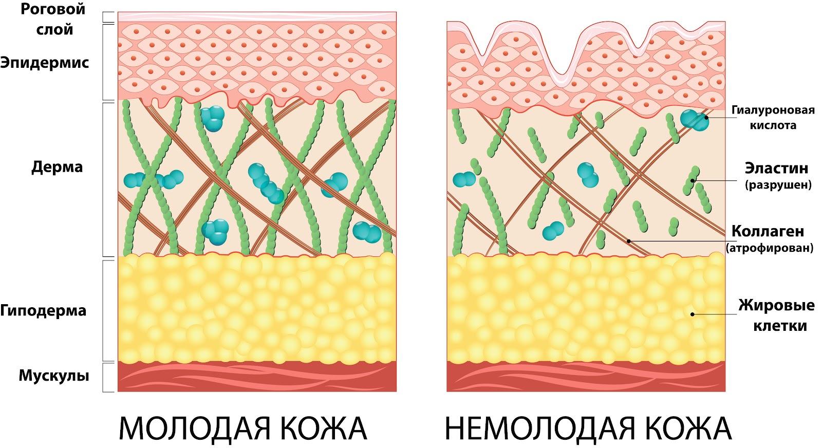 Строение кожи.jpg