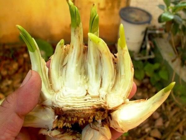 Hướng dẫn cách gọt thủy tiên để hoa nở đúng 30 Tết 4