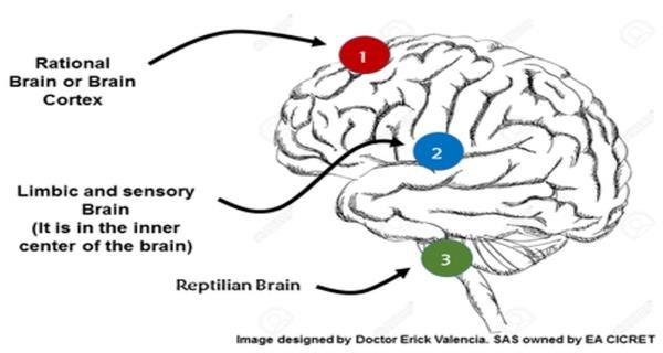 C:\Users\leleg\Documents\Learning Path\Structure-3-brains-used-in-neuromarketing.jpg
