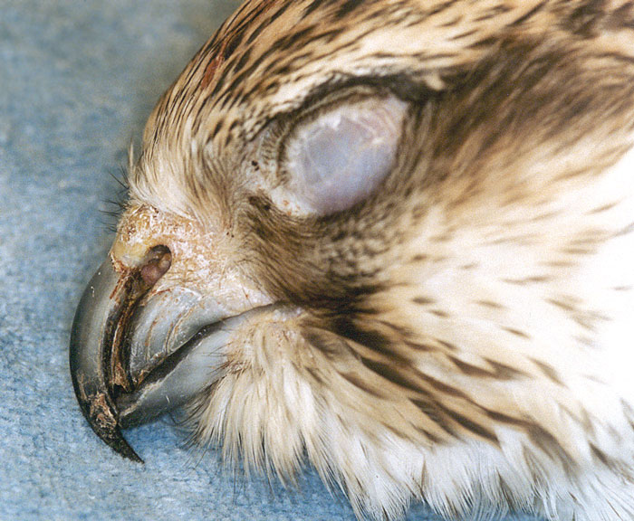 Deep unilateral groove in the beak of a saker falcon