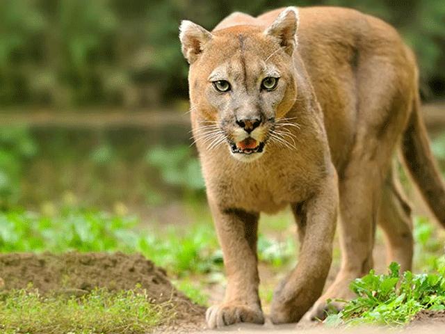 3 Pumas son cazados tras comer restos de carne humana