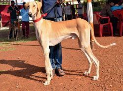 Mudhol Hound Indian dog breed