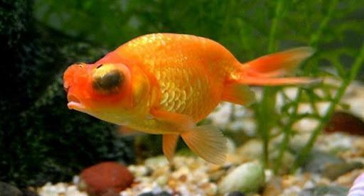 Điều trị hiệu quả bệnh lồi mắt ở cá