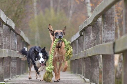 Perros jugando entre ellos, en puente, juguete