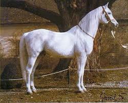 cavalos arabes