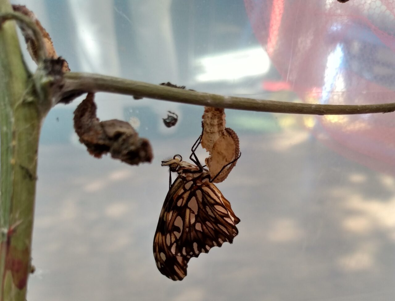 A imagem mostra uma borboleta presa a um casulo que está preso ao galho de uma árvore.