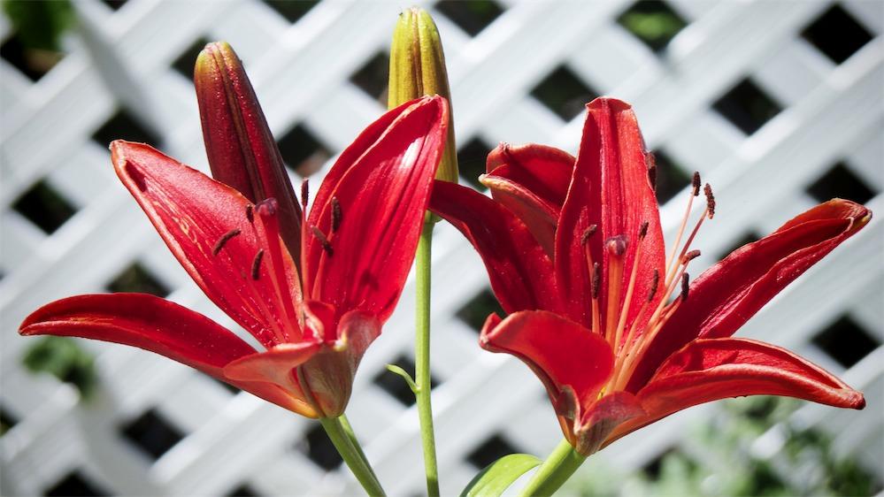 Red Twin Lilies.jpg