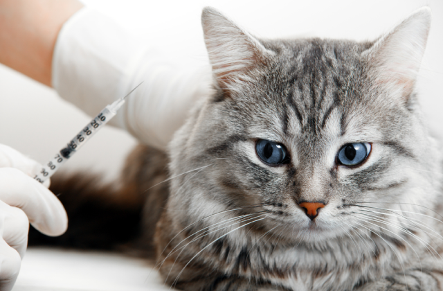 tiêm phòng cho mèo là việc cần thiết