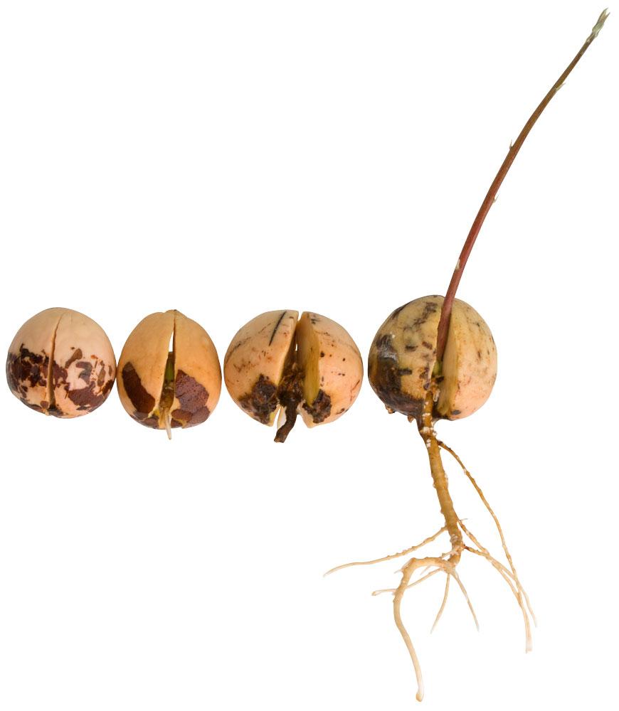 How to Grow an Avocado Tree   AvoSeedo