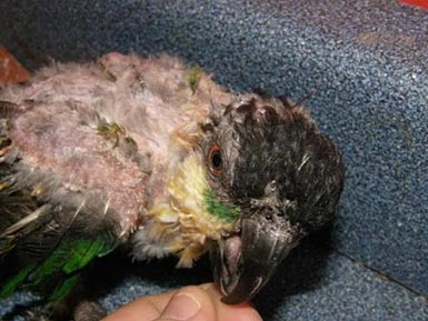 Caique with Psittacine Beak and Feather Disease (PBFD).