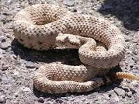 Image result for Rattlesnakes