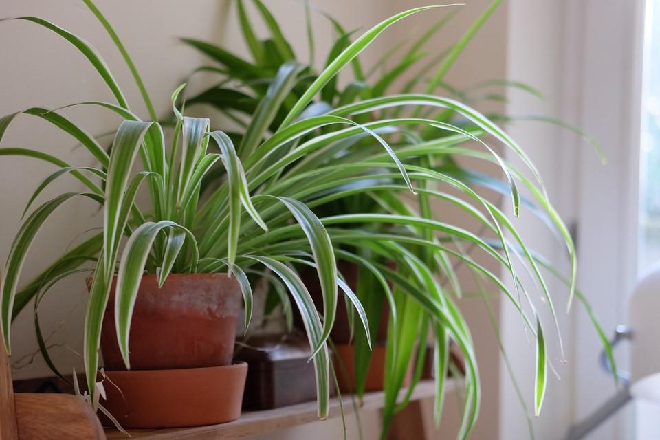 7. เศรษฐีเรือนใน (Spider Plant)