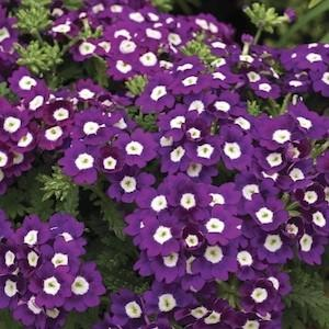 http://www.swallowtailgardenseeds.com/assets/verbena_tuscany_violet_eye_22.jpg