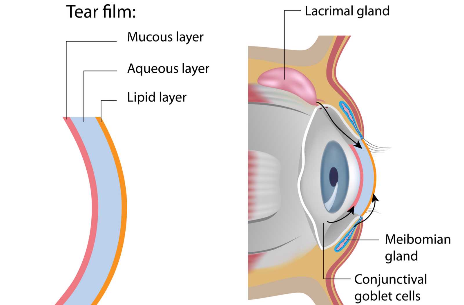 labeled drawing of the tear film and associated glands