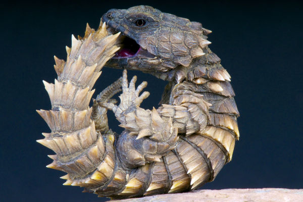 Image result for armadillo lizards look like baby dragons