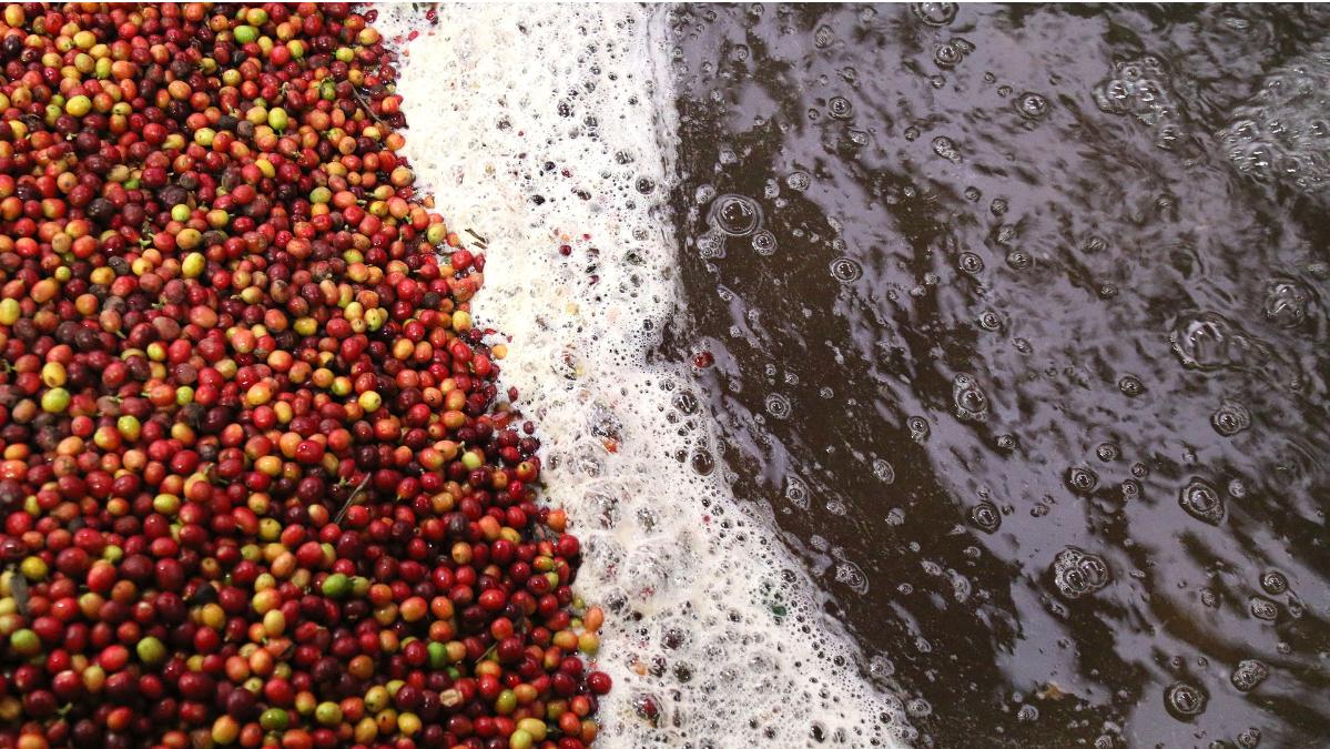decaf-coffee-healthy
