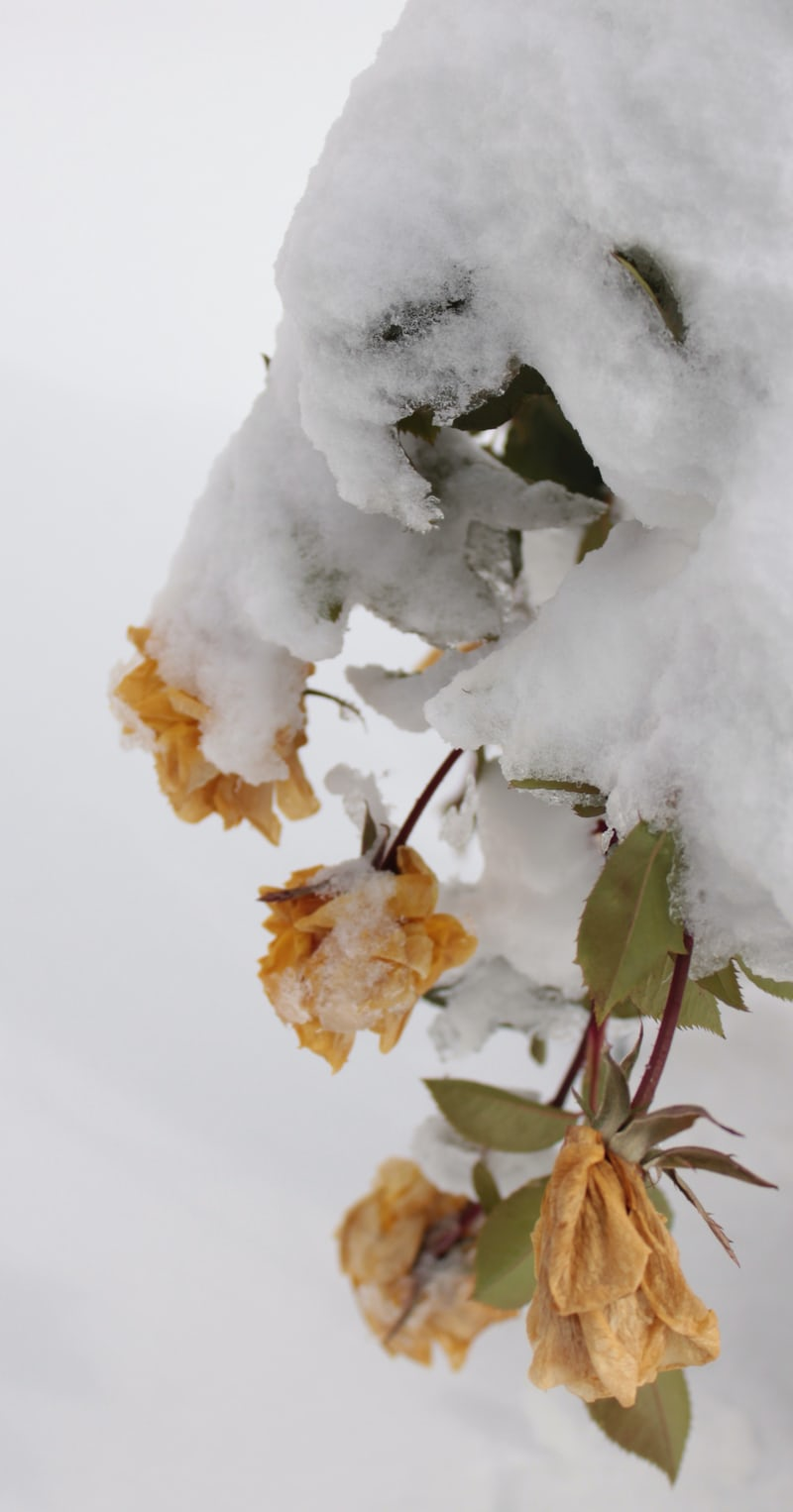 roses covered in ice