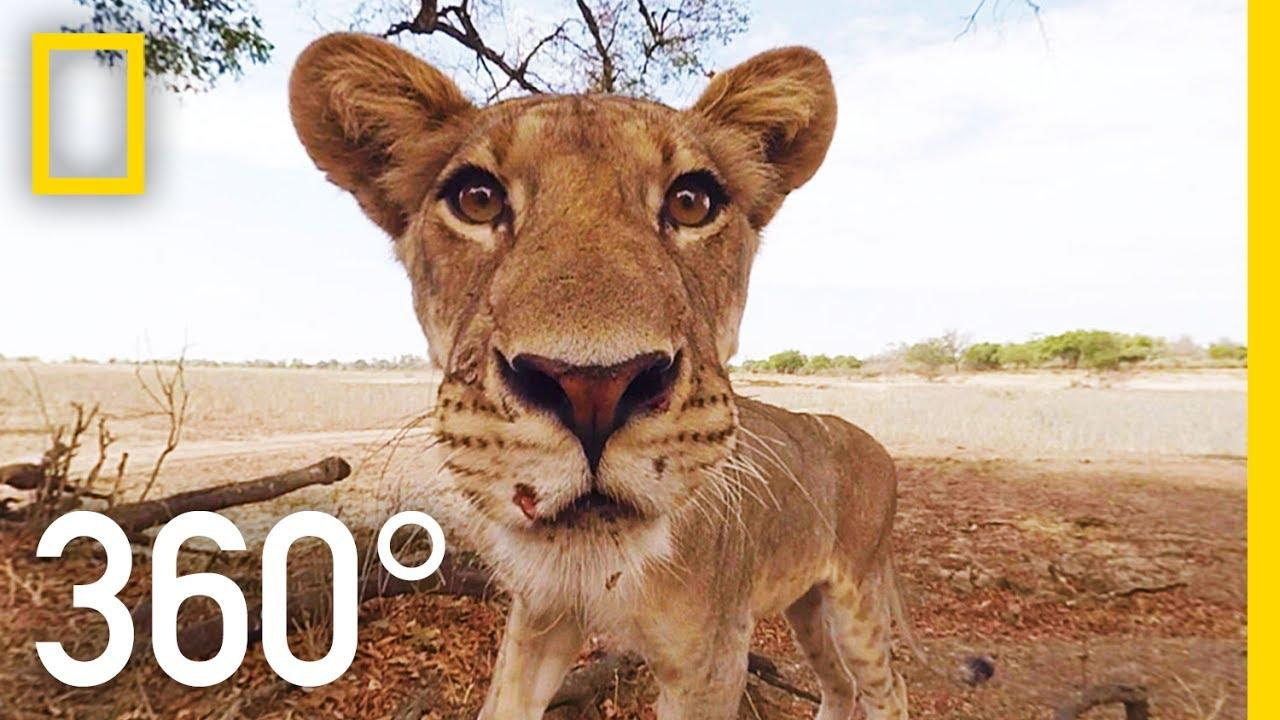 Lions 360°   National Geographic - YouTube