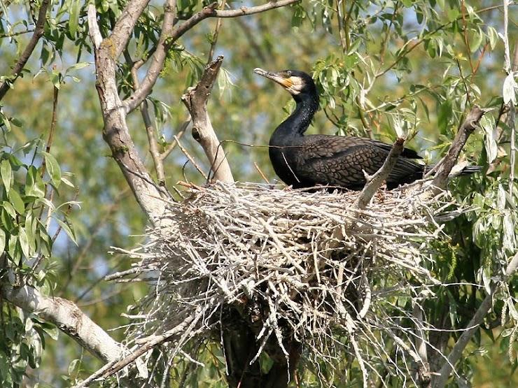 Le nid est généralement un amas de branchages, installé en hauteur sur un grand arbre ou sur des rochers.
