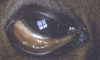 Conjunctivitis in a 50 day old specific-pathogen-free foal 6 days after experimental intranasal/intraocular infection with EAdV1. Same foal as Figure 1.