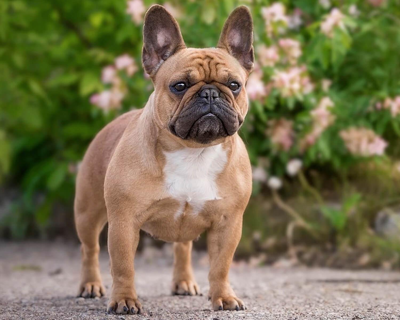 Французский бульдог - это умный, любящий пес, который хочет и должен  проводить много времени со своим хозяином.