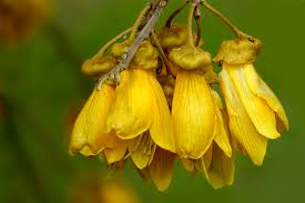 Image result for kowhai flower