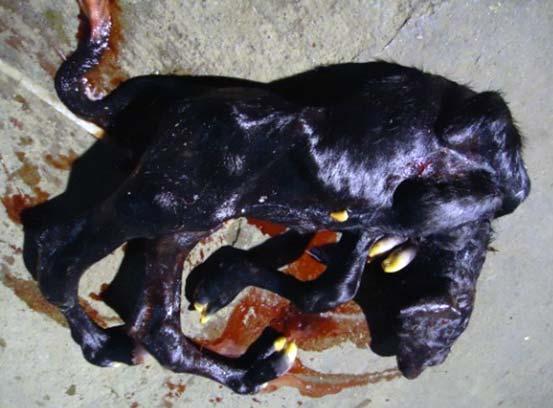 Perosomus elumbis malformation in a buffalo fetus.