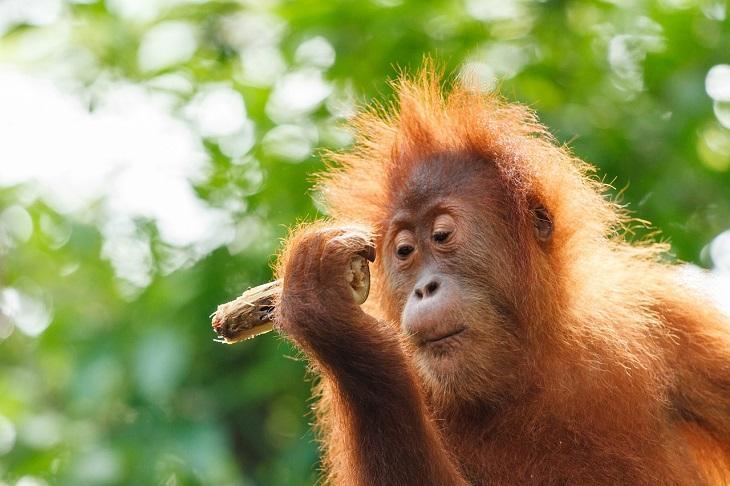 the SMARTEST Animals on the Planet Orangutan