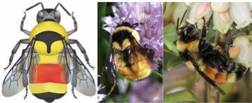 Tri-colored bumble bee images