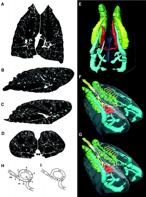 Figure 4. Airflow in alligator lungs. Computed tomography images (left) show the hairpin turn (blue arrow) into the CVB (v) in the coronal (A) and medial sagittal (B) views. The lateral sagittal view shows the larger ostia to the dorsal bronchi (C), some of the ostia of ventral and lateral bronchi (blue arrows), a parabronchus (blue arrowheads), and the dorsal bronchus in which flow was recorded (d). The axial view (D) shows the bifurcation of the primary bronchi. An oblique dorsal view of the major bronchi is shown in (E). A simplified view shows airflow during inspiration (F) and exhalation (G) in the trachea, CVB, dorsal bronchus, and parabronchi. Hazelhoff's model of exhalation (H) and inspiration (I). ipb, intrapulmonary bronchus; le, guiding dam; ve, vestibulum; v, ventrobronchus; m, mesobronchus; p, parabronchus; d, dorsobronchus; x,y, sites of constriction. | Credit: Sanders eta l (2010)