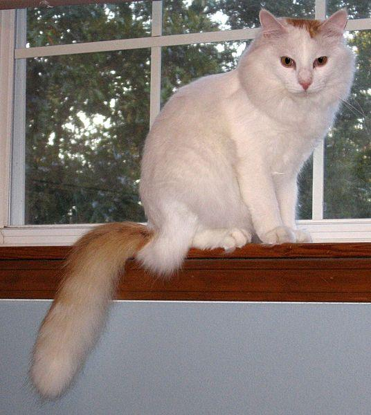 File:Hobie the turkish van.JPG