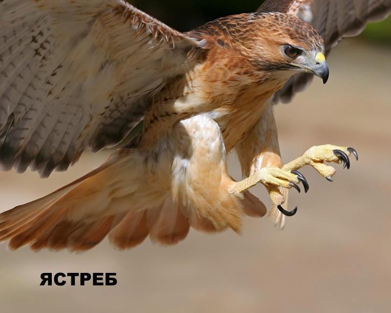 Кемпинги и любительская орнитология. Ястреб