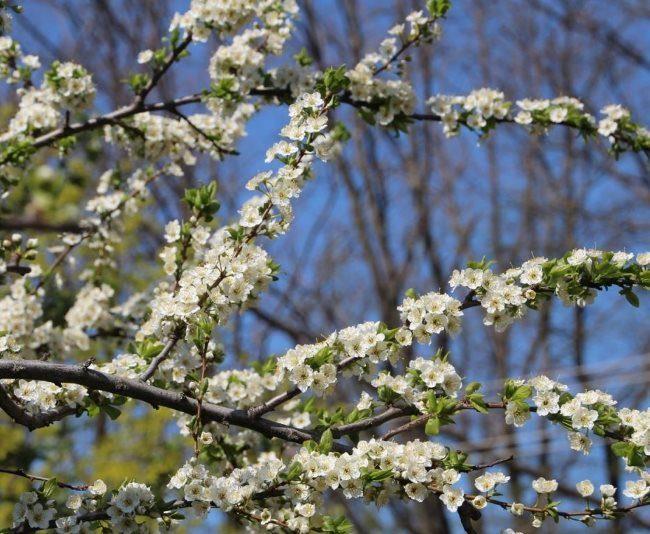 Ветки плодовой сливы с небольшими цветками белого окраса