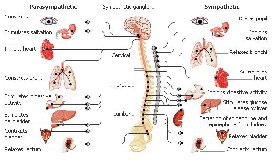 http://brainbasedcare.com/wp-content/uploads/2008/12/para-sympa1.jpg