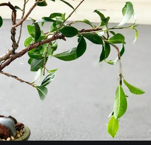 galhos caídos cuidados com bonsai