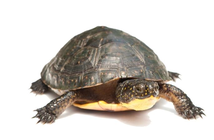 Blanding's turtle juvenile