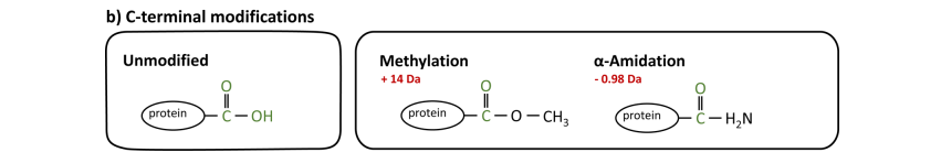 C terminus modifications of proteins
