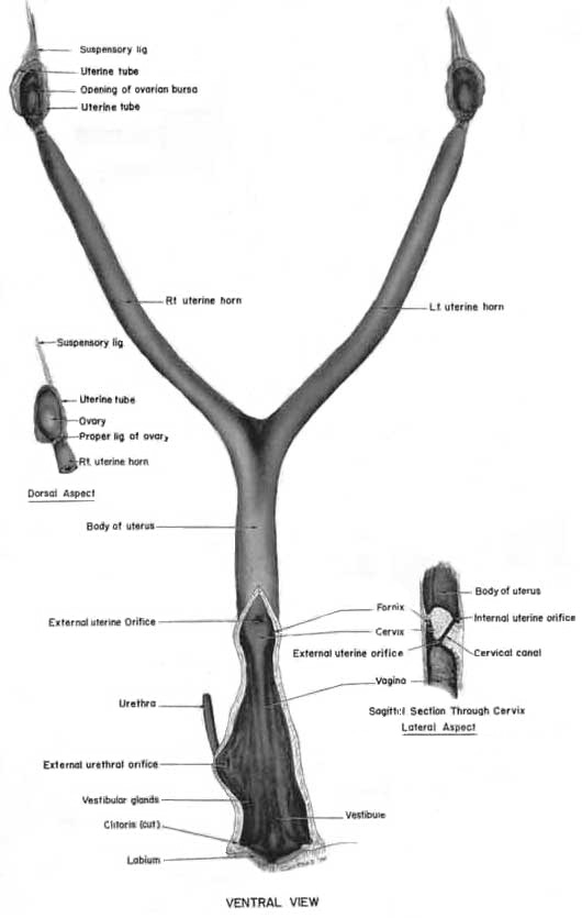 Schematic drawing of the anatomy of the genital tract in the female cat