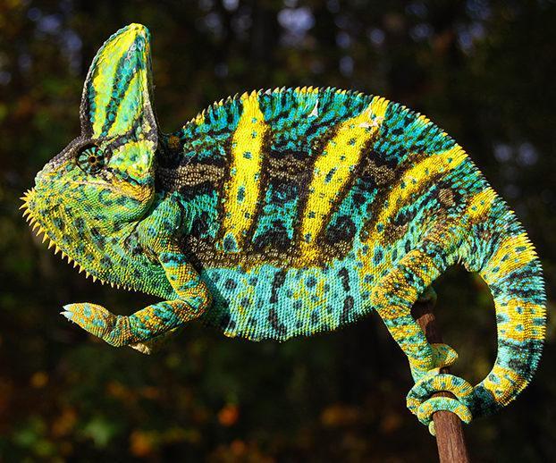 Image result for veiled chameleon