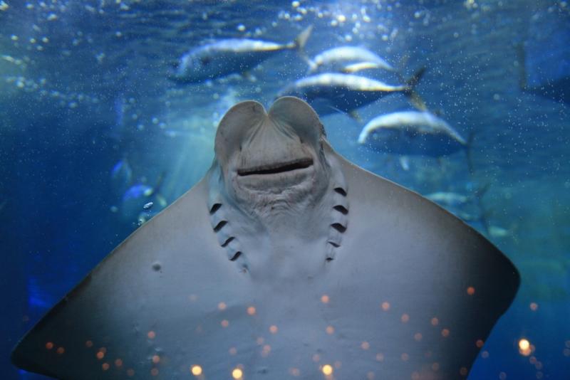 Позитивний риба-скат