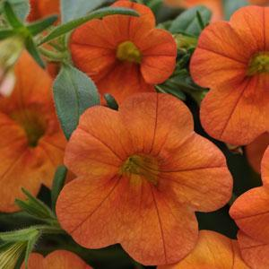 MiniFamous® Orange