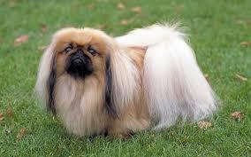 Bán chó Bắc Kinh
