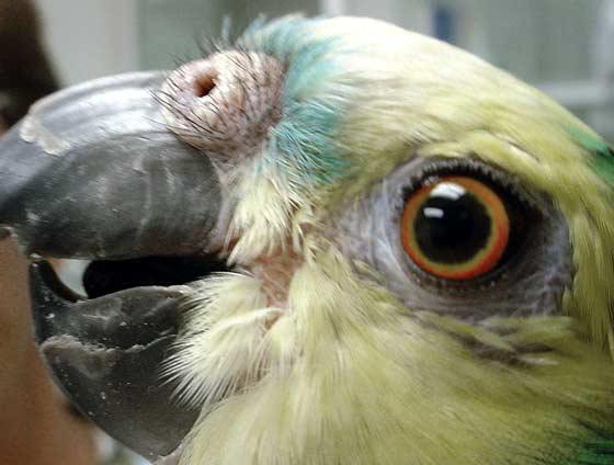 Amazon with Malassezia spp. facial dermatitis