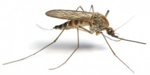 Mosquitoes are Vectors of Malaria
