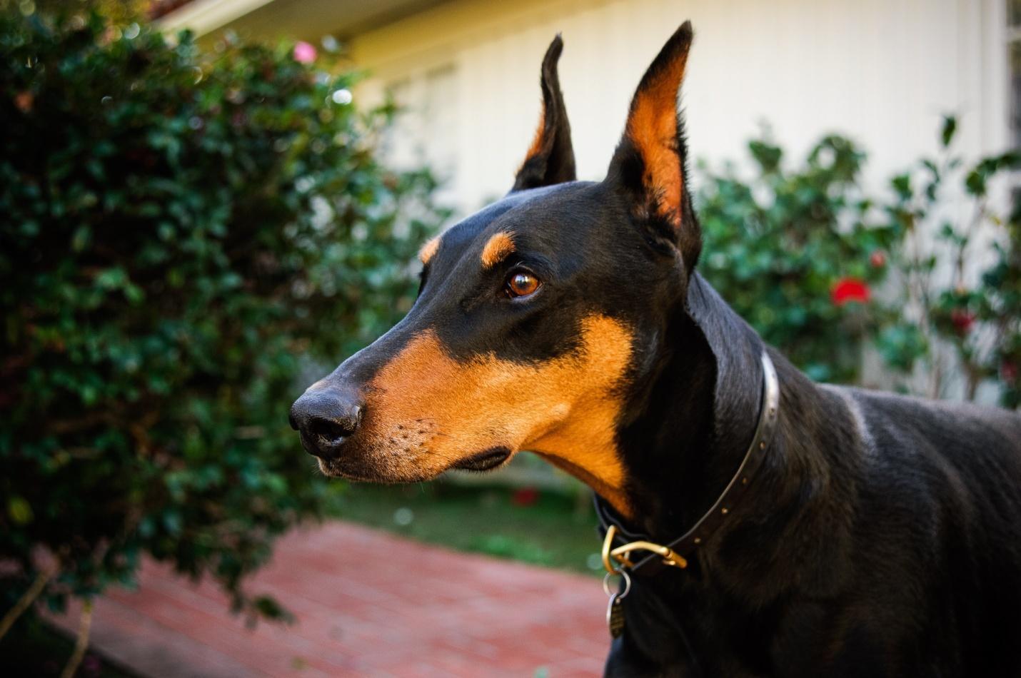C:\Users\user\Desktop\doberman-pinscher-dog-breed-pictures-1.jpg